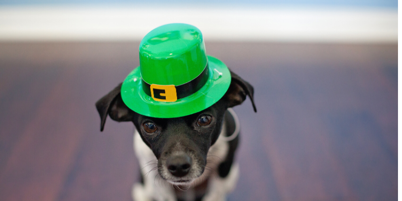 dog wearing st particks day hat